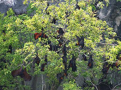 オオコウモリの島