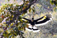 ランカウイの鳥 オオサイチョウ