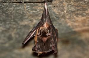 子育て中のコウモリ