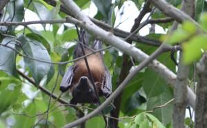 ヒメオオコウモリ