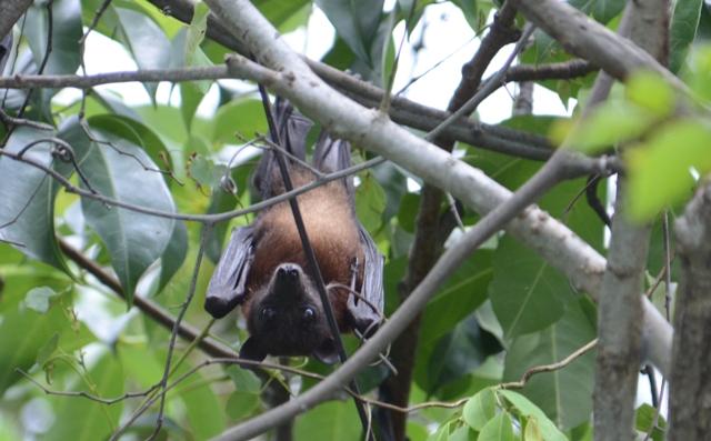ランカウイ島 ヒメオオコウモリ