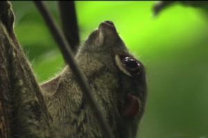 ランカウイの生き物 マレーヒヨケザル